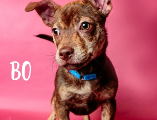 HP Animal of the Week – Bo