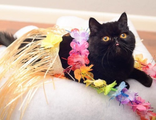 Meow Luau & Cat Enrichment Fair